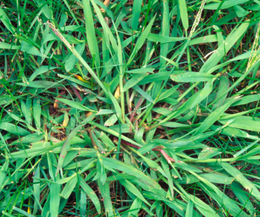 Crabgrass is a monster to control, but regular lawn maintenance can handle it.