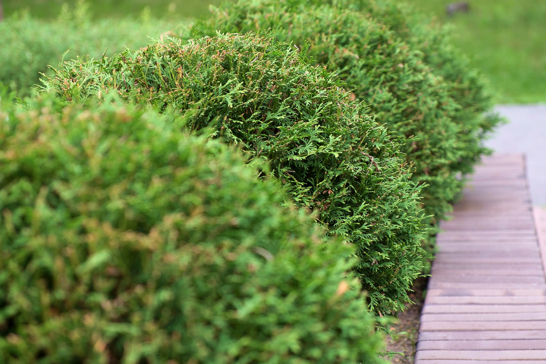 Call Augusta Lawn Care and Maintenance to have your shrubs trimmed to stay health and looking great.